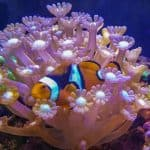 reef aquarium clown amphiprion percula host goniopora