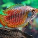 colisa_lalia_planted_aquarium