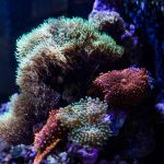 reef start polyp ricordeas